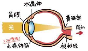 水晶体と毛様体筋の位置関係