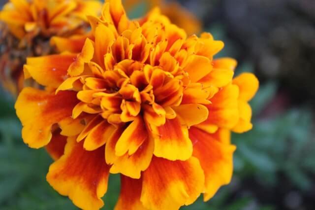 大きなマリーゴールドの花